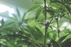 Will Marijuana Use Make North Dakotans Unsafe?